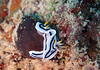 Nudibranch (chromodoris sp.)<br /> Mnemba Atoll, Zanzibar