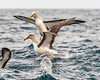 Tasmanian Albatross