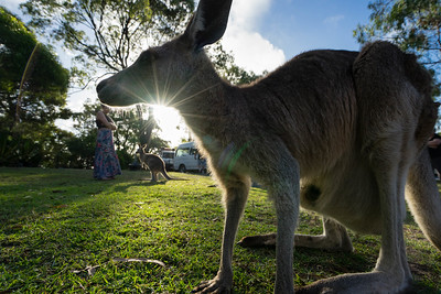 A kangaroo is framed by the setting sun at Horizons Kangaroo Sanctuary, Agnes Water, Australia.