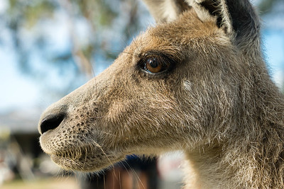 A kangaroo in profile at Horizons Kangaroo Sanctuary, Agnes Water, Australia.