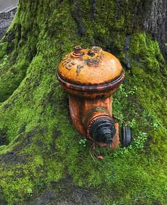 Fireplug in Tree, Portland, 2018