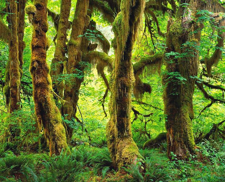Big Leaf Maples