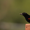 Red-winged Blackbird ~ Agelaius phoeniceus ~ Upper Mahoning River Watershed, Ohio