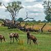 Wild dogs II - Okavango Delta, Botswana, 2019