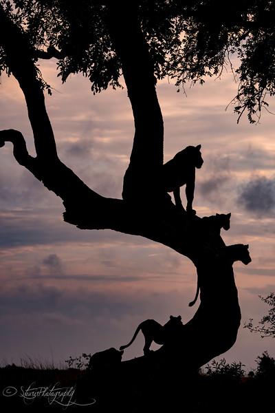 Lion silhouette - Okavango Delta, Botswana, 2019