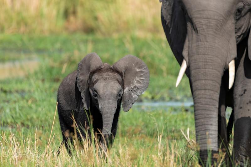 Little elephant I - Okavango Delta, Botswana, 2019