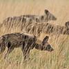 Wild dogs I - Okavango Delta, Botswana, 2019