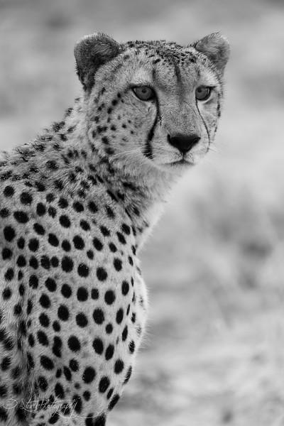 Cheetah IV - Okavango Delta, Botswana, 2019
