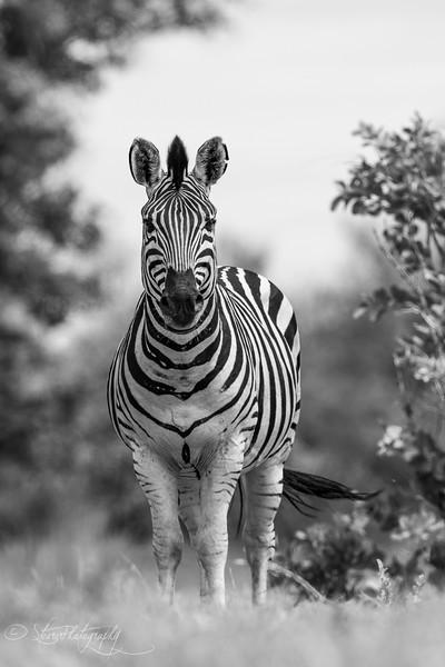 Zebra - Okavango Delta, Botswana, 2019