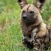 Wild dog III - Okavango Delta, Botswana, 2019