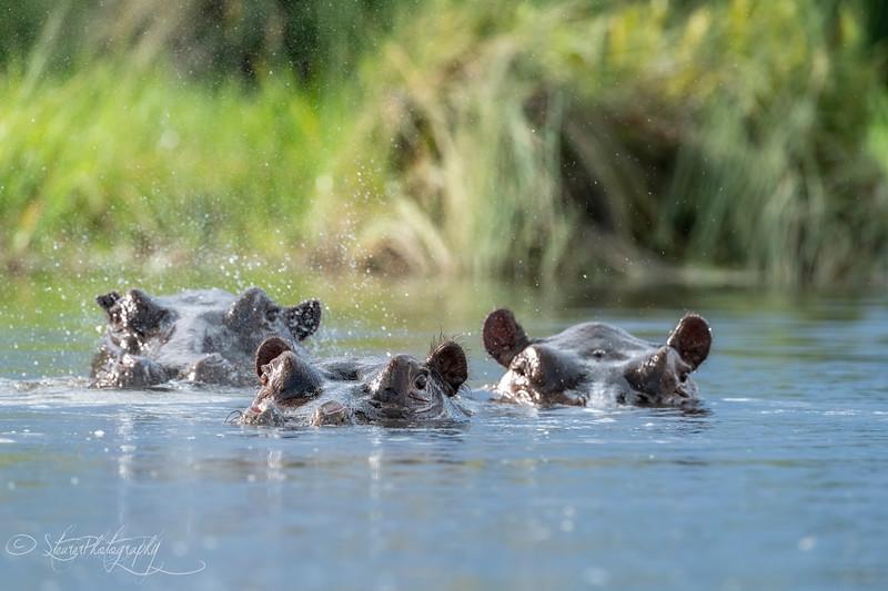 Hippo family - Okavango Delta, Botswana, 2019
