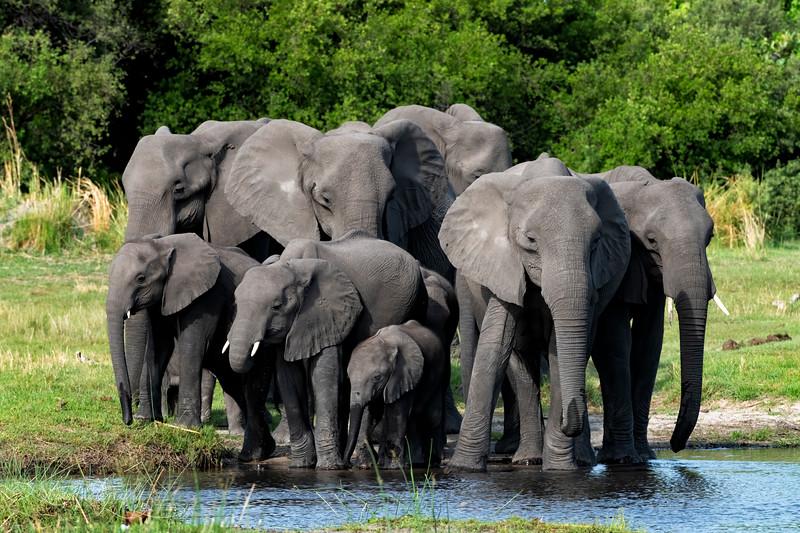 Elephant herd I  - Okavango Delta, Botswana, 2019