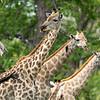 Giraffes I - Okavango Delta, Botswana, 2019