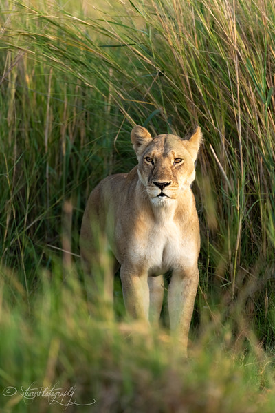 Hunting Queen - Okavango Delta, Botswana, 2019