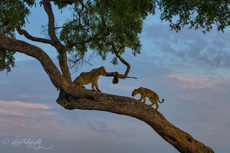 Sunrise lions - Okavango Delta, Botswana 2019
