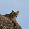 Lions in the tree II - Okavango Delta, Botswana, 2019