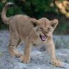 Lion cub II - Okavango Delta, Botswana, 2019