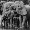 Elephant herd II - Okavango Delta, Botswana, 2019
