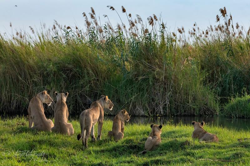 Lion story - Okavango Delta, Botswana, 2019