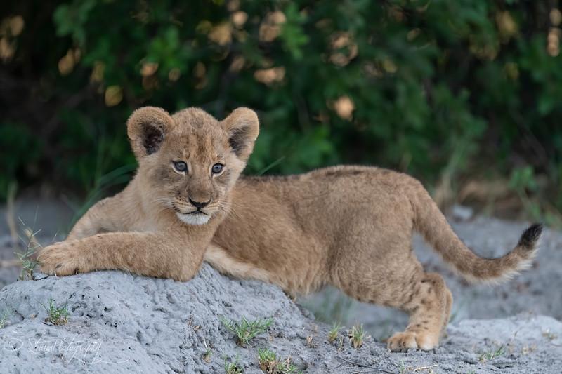 Lion cub III - Okavango Delta, Botswana, 2019