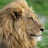 The Lion King - Okavango Delta, Botswana, 2019