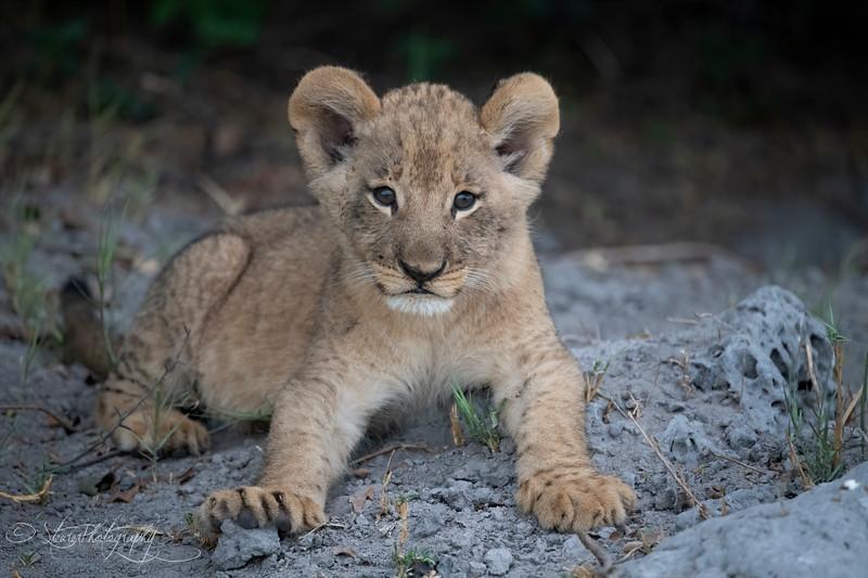Lion cub I - Okavango Delta, Botswana, 2019