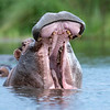 Hippo yawn - Okavango Delta, Botswana, 2019