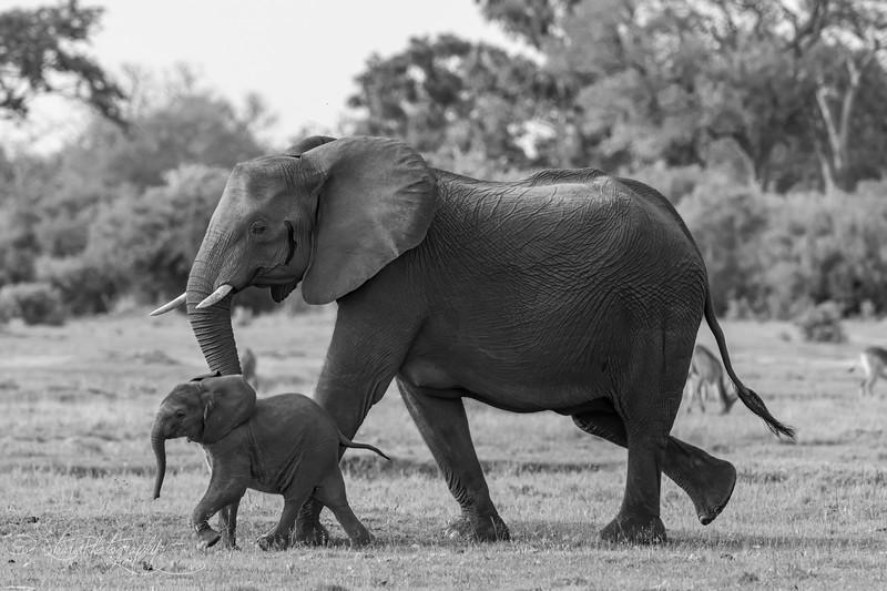 Little elephant III - Okavango Delta, Botswana, 2019