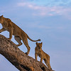 Lions in the tree I - Okavango Delta, Botswana, 2019