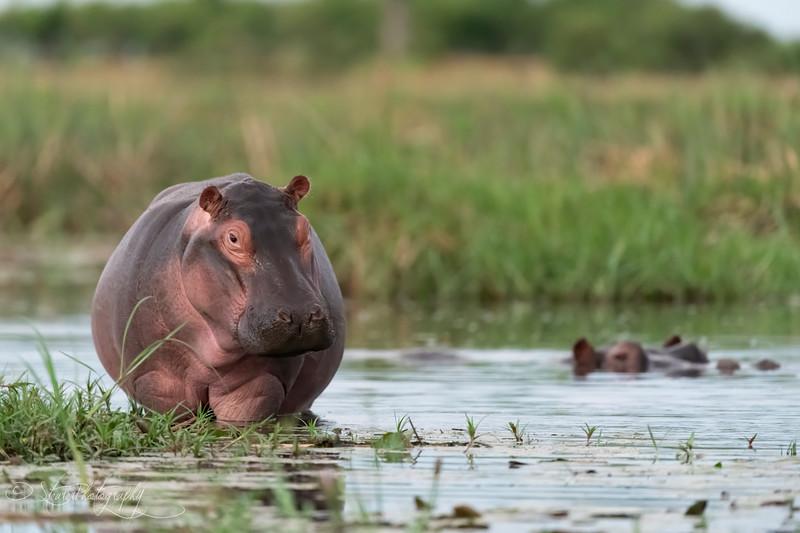 Little hippo - Okavango Delta, Botswana, 2019