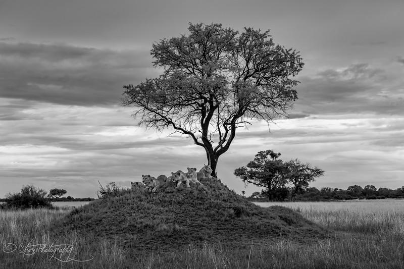 The hunt is on - Okavango Delta, Botswana, 2019