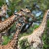 Giraffes II - Okavango Delta, Botswana, 2019
