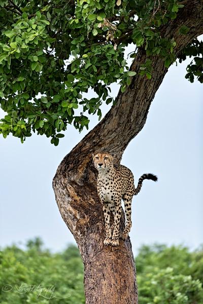Cheetah II - Okavango Delta, Botswana, 2019