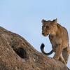Lions in the tree III - Okavango Delta, Botswana, 2019