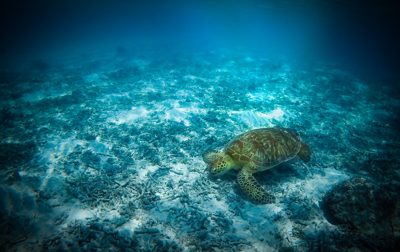 Diving with Sea Turtles