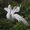 Great White Egret Courting