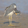 Primping Tri-Colored Heron