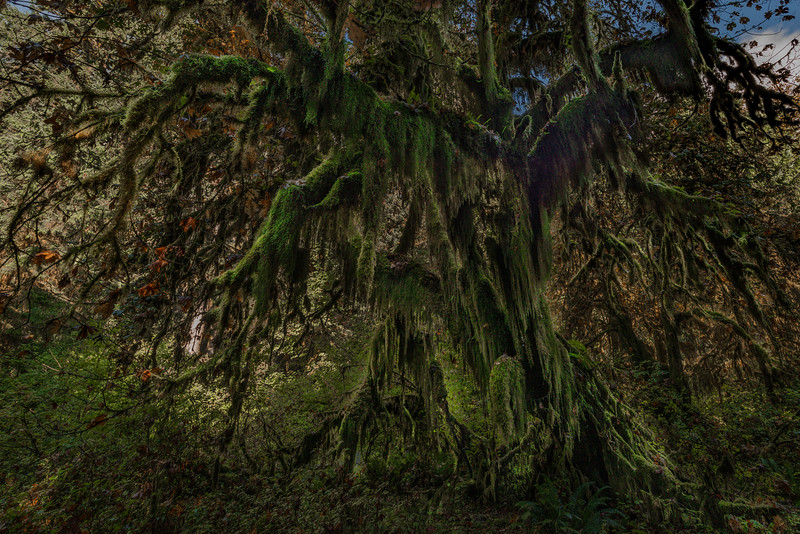 Maple Grove, Hall of Mosses Trail, Hoh Rain Forest