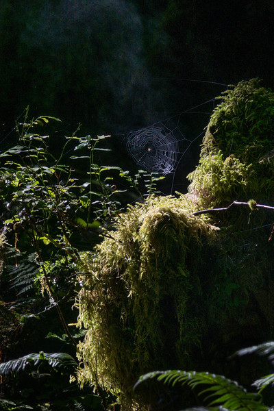 Morning Light & Rising Steam, Hall of Mosses Trail, Hoh Rain Forest