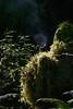 Morning Light & Rising Steam, Hall of Mosses Trail, Hoh Rain Forest