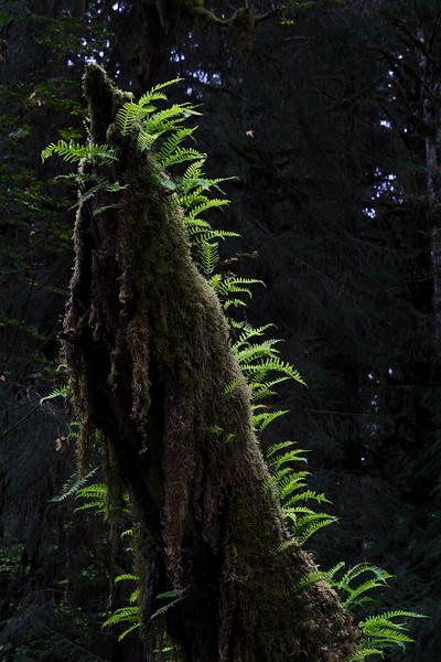 Afternoon Sun Backlighting Ferns, Hoh Rain Forest