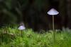 Teensy-weensy Fungi, Hoh Rain Forest (macro)