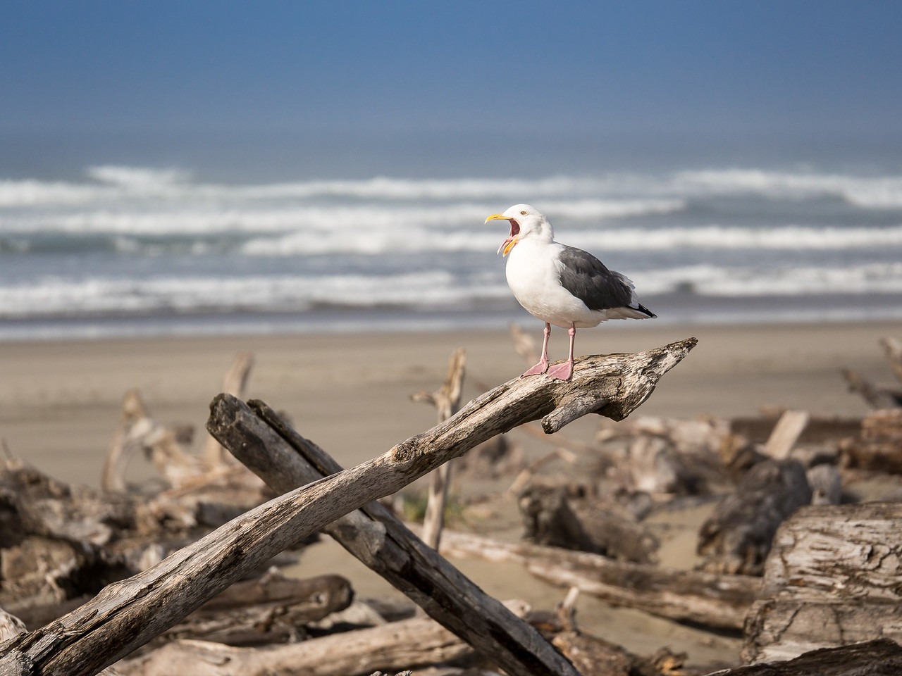 Driftwood and Seagull on the Beach at the Coquille River, Oregon