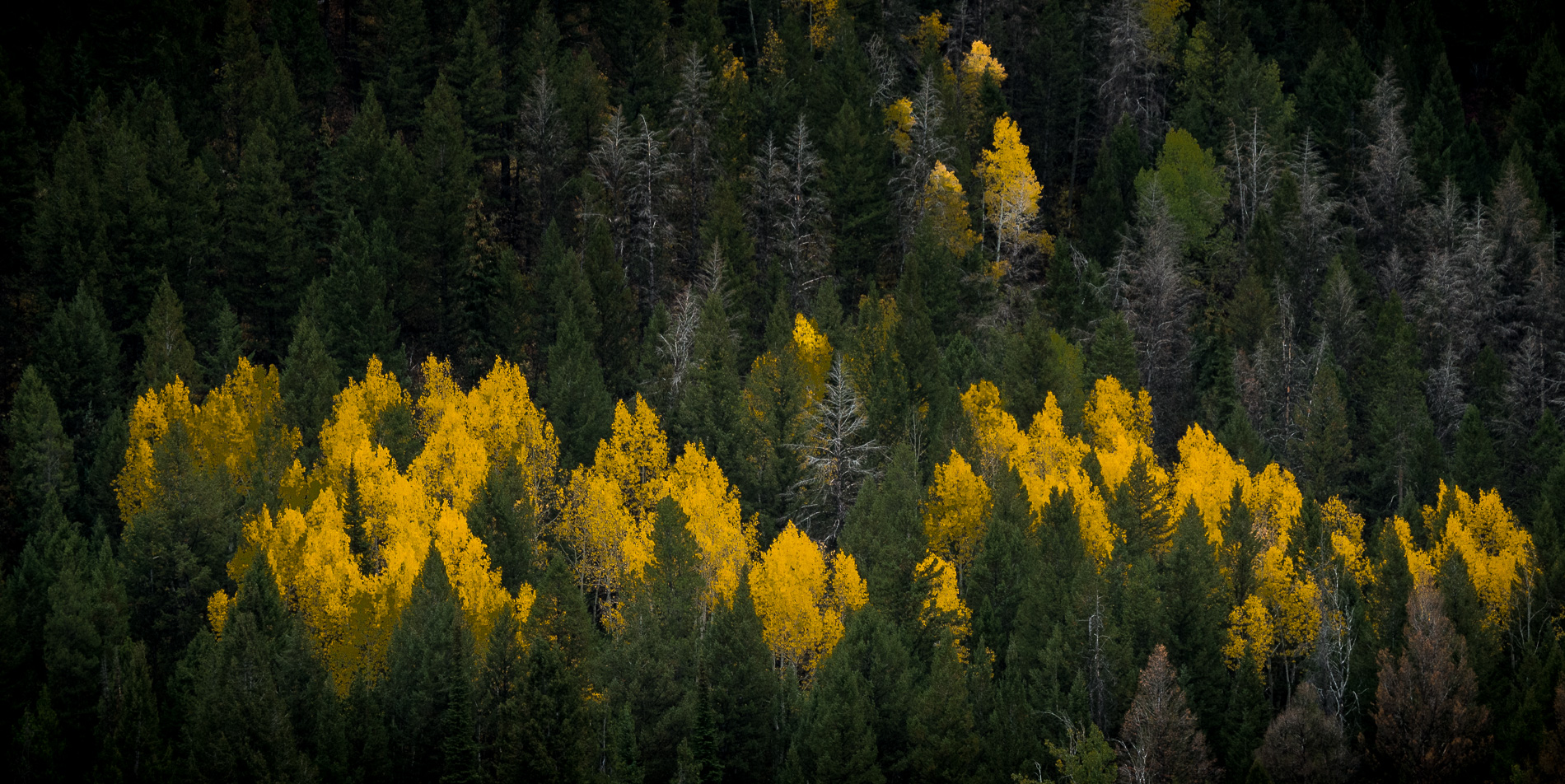 Yellow Aspens Dot Mountainside
