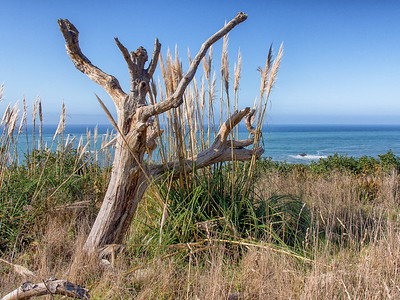 Seascape with Dead Tree, Pampass Grass and Pacific Ocean at Patrick's Point State Park