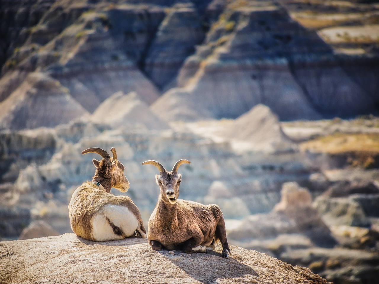 Two Bighorn Sheep Rams at Rest in the Badlands National Park in South Dakota