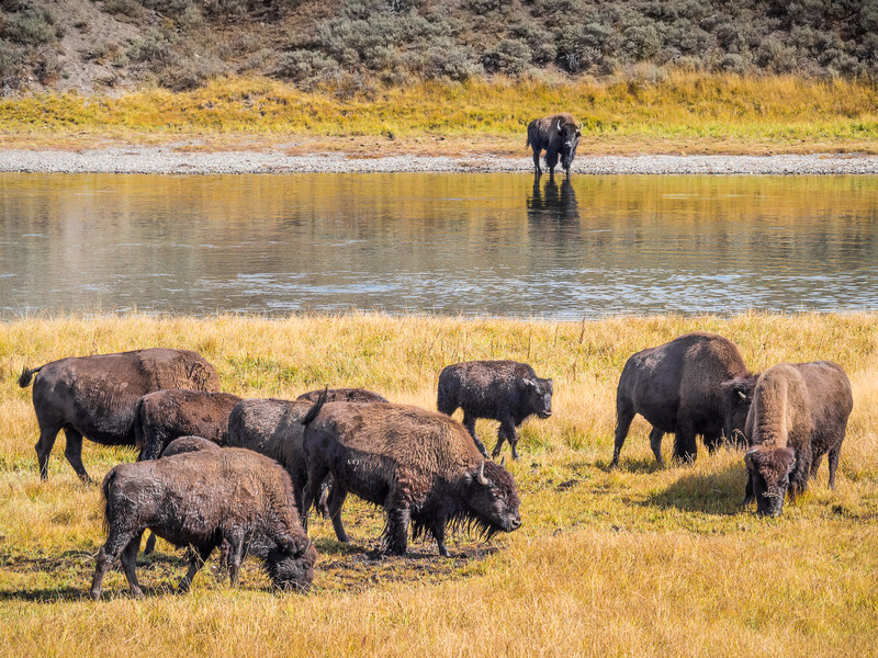 Bison Feeding in a Meadow next to the Yellowstone River in Yellowstone National Park