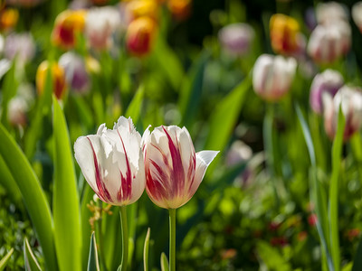 Spring Blooms of Colorful Tulips