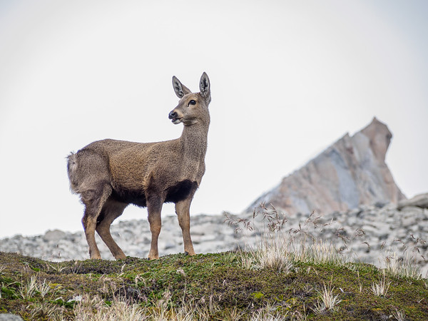 Huemul, south Andean deer