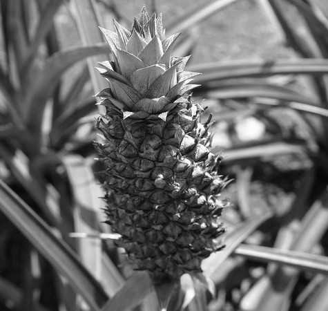 Pineapple at the Dole plantation.